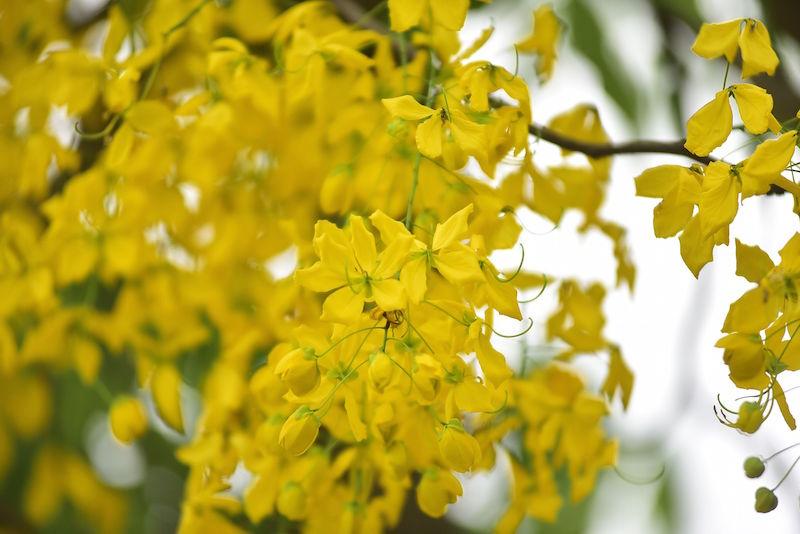 Hoa muồng hoàng yến