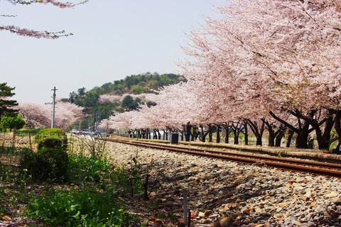 Hoa-anh-đào-ở-Jinhae