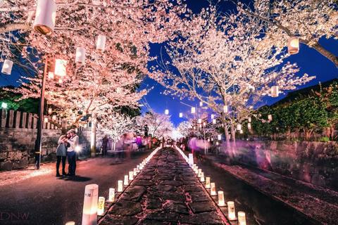 Lễ hội Đèn lồng - Hoa anh đào Nhật Bản