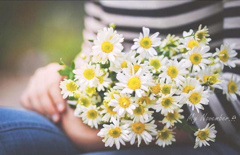 cúc hoa mi