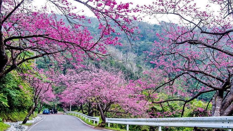 Hoa anh đào phủ kín cả con đường ở Nhật