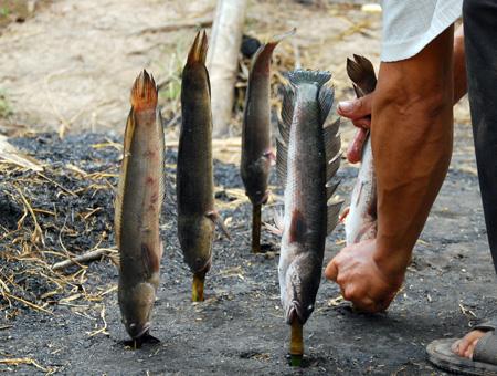 Món ngon miền Tây: Cá lóc chổng ngược