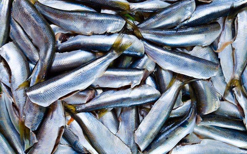 Cá trích nguồn lợi thiên ở vùng biển Phú Quốc