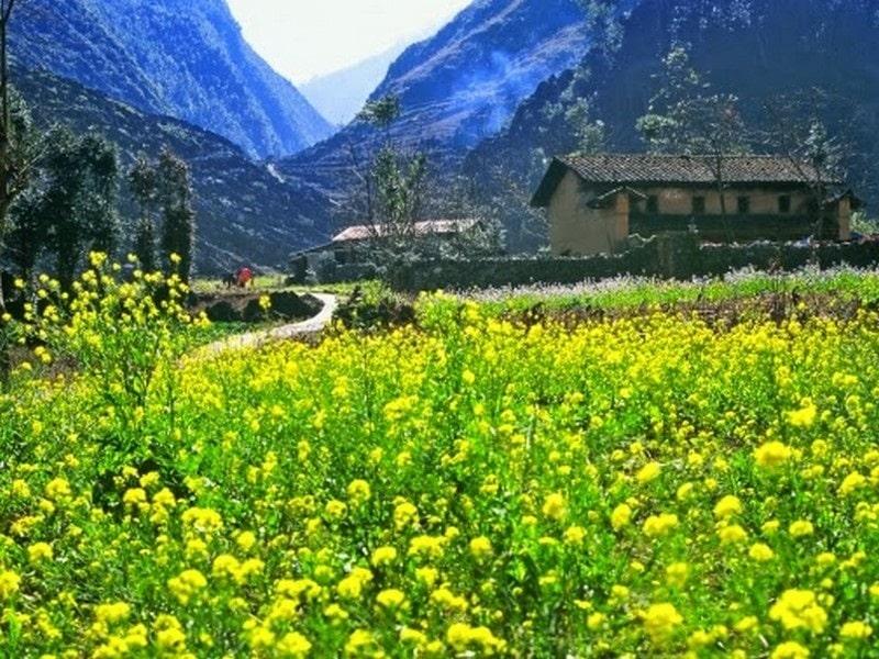 Cánh đồng hoa cải vàng tươi ở thung lũng Sùng Là
