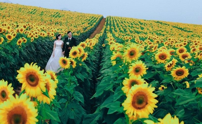 Cánh đồng hoa hướng dương địa điểm check in thú vị ở Nghệ An
