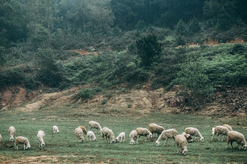 Cánh đồng cừu địa điểm tham quan không thể bỏ qua ở Nghệ An