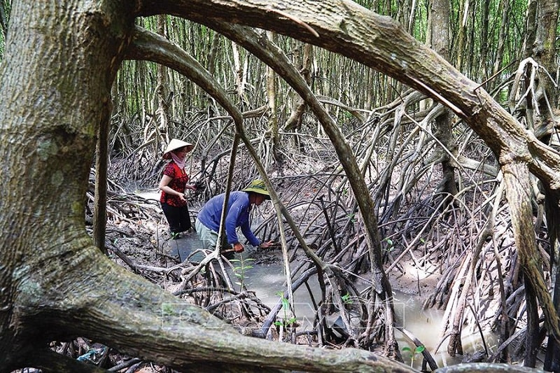 Rừng ngập mặn Cà Mau nơi trải nghiệm thú vị cho du khách