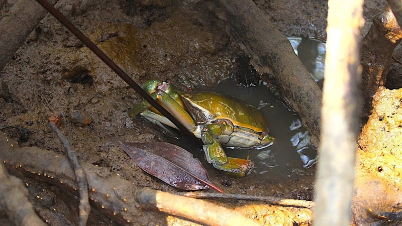 Cua Cà Mau là một trong những đặc sản nổi tiếng
