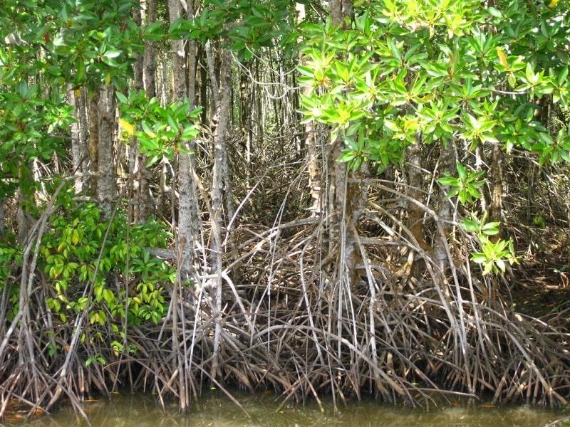 Cây đước loại cây phổ biến ở rừng ngập mặn Cà Mau