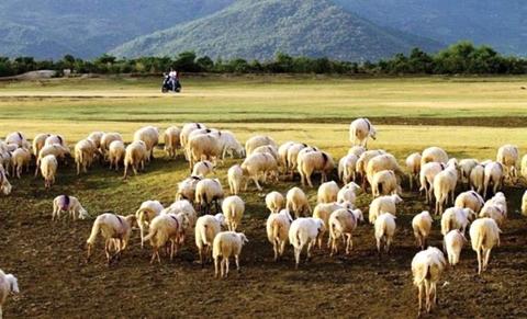 Đồng cừu Suối Nghệ, Bà Rịa - Vũng Tàu.