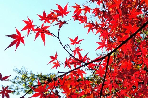 Mùa thu tuyệt đẹp với sắc lá vàng, lá đỏ của những cây gỗ thích