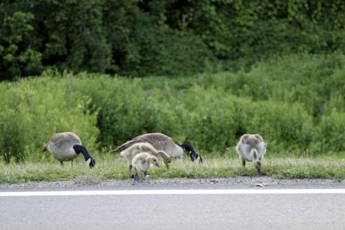 Ở Bang Utah, chim được phép di chuyển trên đường cao tốc