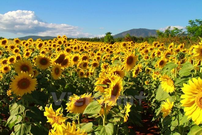Cánh đồng hoa hướng dương ở Lâm Đồng