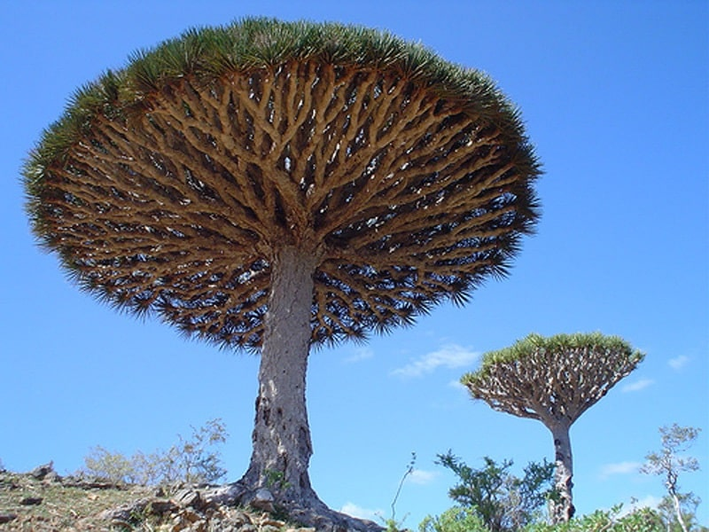 Cây huyết rồng loài cây quý hiếm mọc ở đảo Socotra