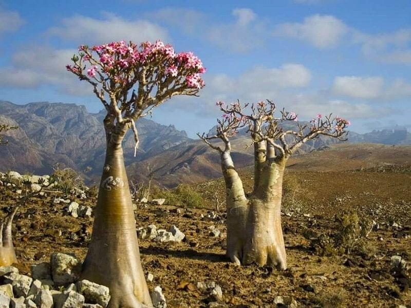 Adenium Obesium nở ra hoa khổng lồ vào tháng 4 hằng năm