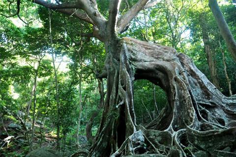 Cây đa ngàn năm tuổi trên đường đến Nhất Lâm Thủy Trang Trà