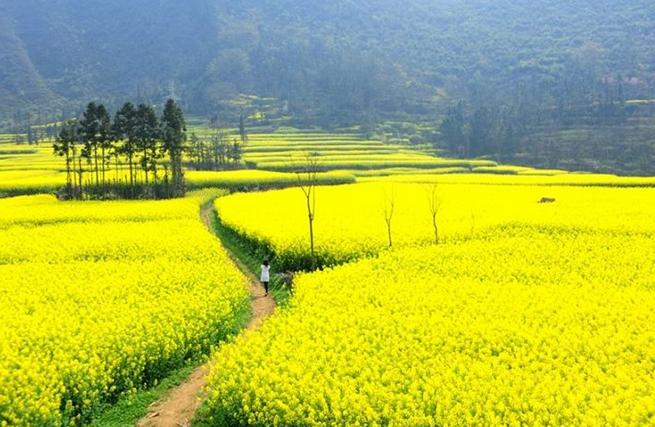 Mùa hoa cải vàng Trung Quốc