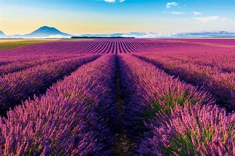lavender - loài hoa kiêu hãnh của Pháp