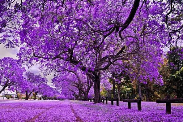 Mùa hoa Phượng tím ở nước Úc