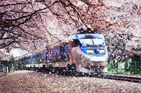 Mùa hoa anh đào Hàn Quốc