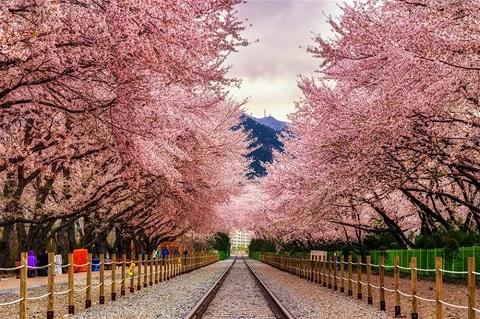 hoa anh đào - mùa hoa trên khắp thế giới đẹp nhất