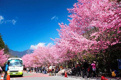 Mùa hoa anh đào Đài Loan
