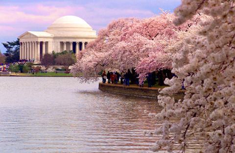 Mùa hoa anh đào ở thủ đo nước Mỹ