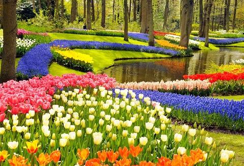 Mùa hoa tulip ở Hà Lan