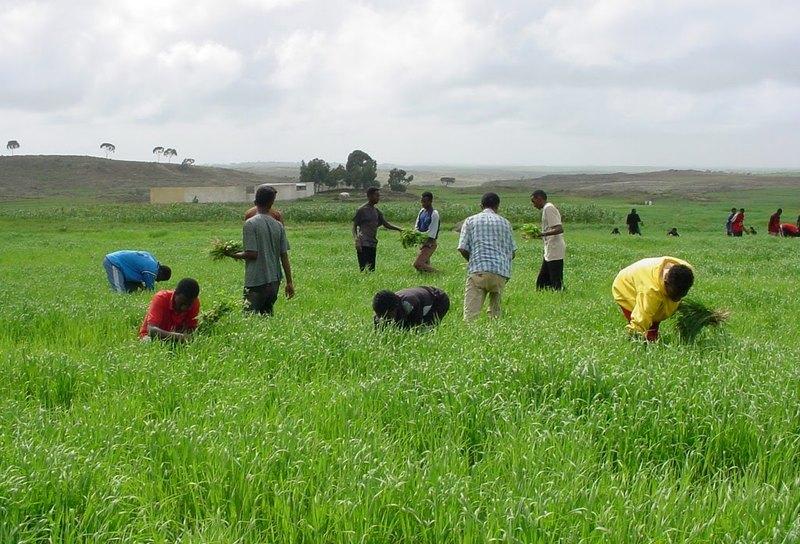 Nền kinh tế Eritrea chủ yếu dựa vào hoạt động sản xuất nông nghiệp với 80% dân số làm việc trong ngành trộng trọt và chăn nuôi