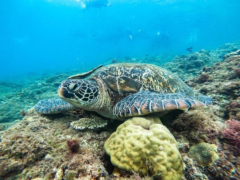 Rùa xanh khổng lồ ở đảo Tiểu Lưu Cầu Đài Loan