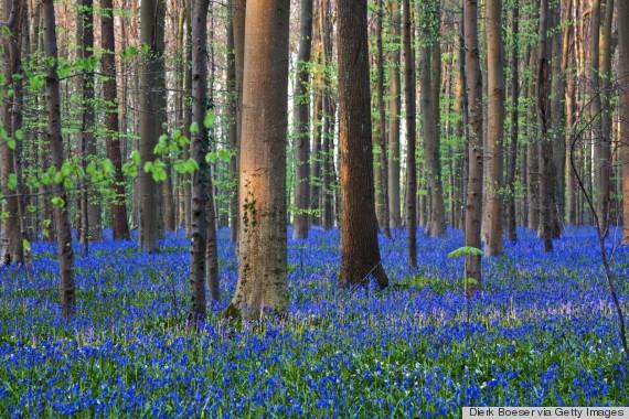 Rừng hoa chuông xanh - Bỉ