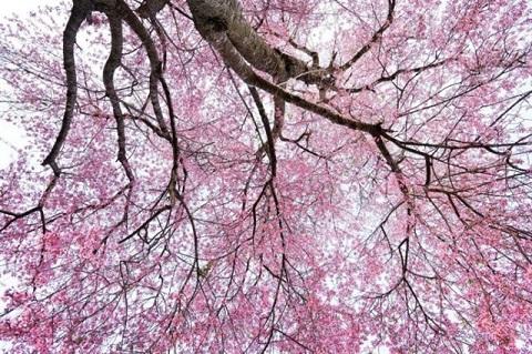 Những bông hoa chi chít khắp cả cành cây