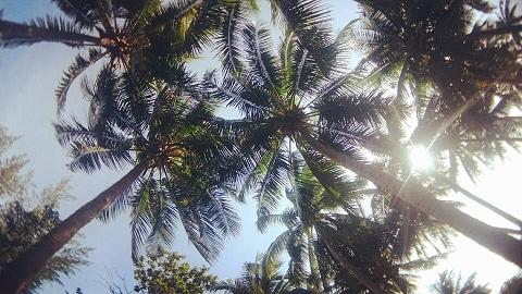 Dừa có mặt mọi nơi ở xã đảo Tam Hải