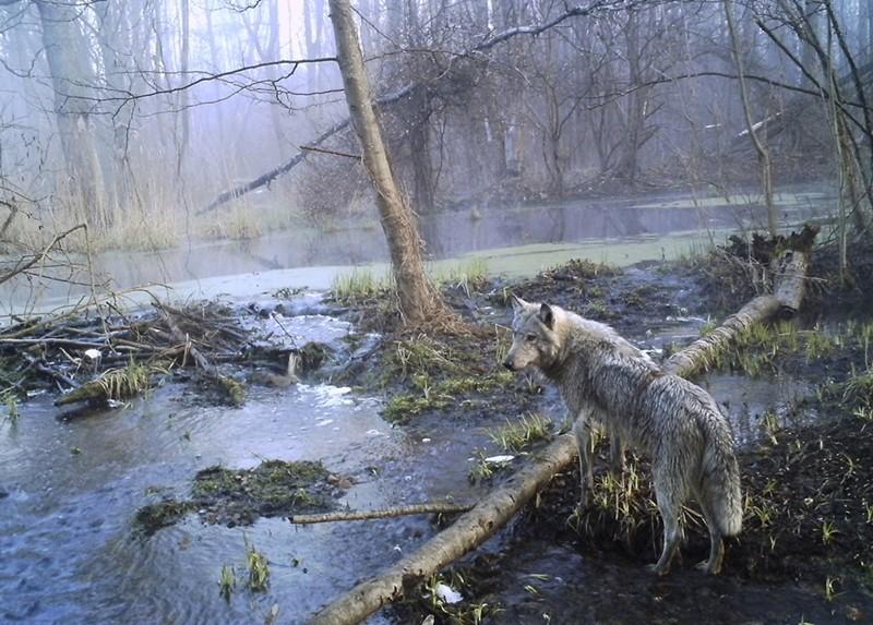 Động vật ở Pripyat đối mặt với nguy cơ đột biến