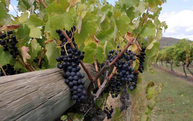 Trải nghiệm rượu vang Úc ở thung lũng Yarra