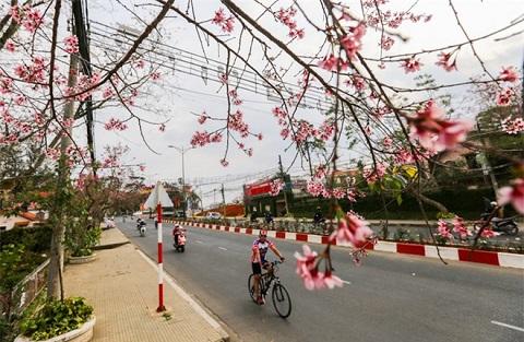Con đường Lê Đại Hành càng lung linh khi sắc hồng của hoa tỏa muôn nơi