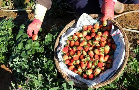 Thu hoạch dâu tây tại vườn, trải nghiệm đầy ấn tượng và thích thú