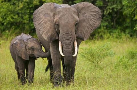 Thu mua ngà voi là điều cấm kỵ ở Lào