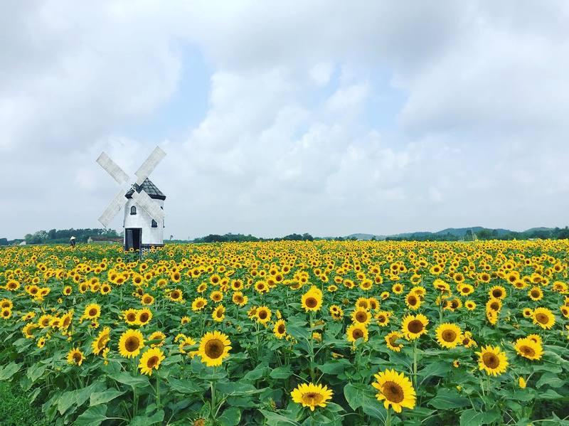 Cánh đồng hoa Hướng Dương trong khuôn viên phim trường Rose Garden tại tỉnh Bắc Giang