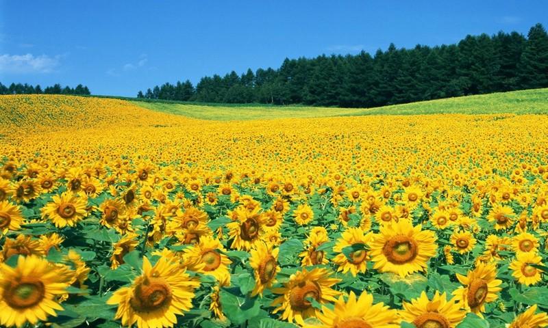 Với diện tích khoảng 60ha đây là cánh đồng hoa Hướng Dương đẹp nhất Việt Nam