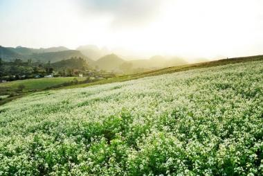 Mộc Châu mùa hoa cải