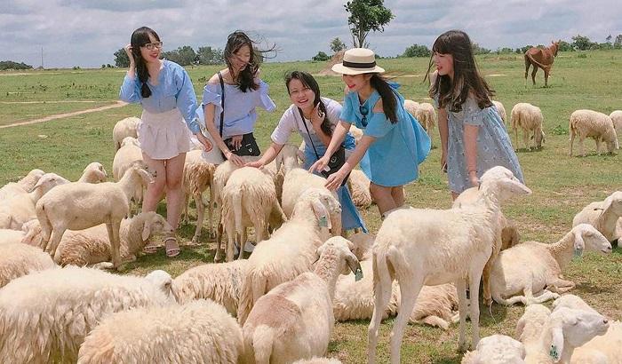 Cánh đồng cừu Suối Nghệ cũng rất thu hút khách du lịch