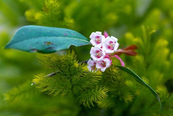Những bông hoa đào chuông tươi đẹp khiến cho nơi đây tựa thiên đường nơi hạ giới.