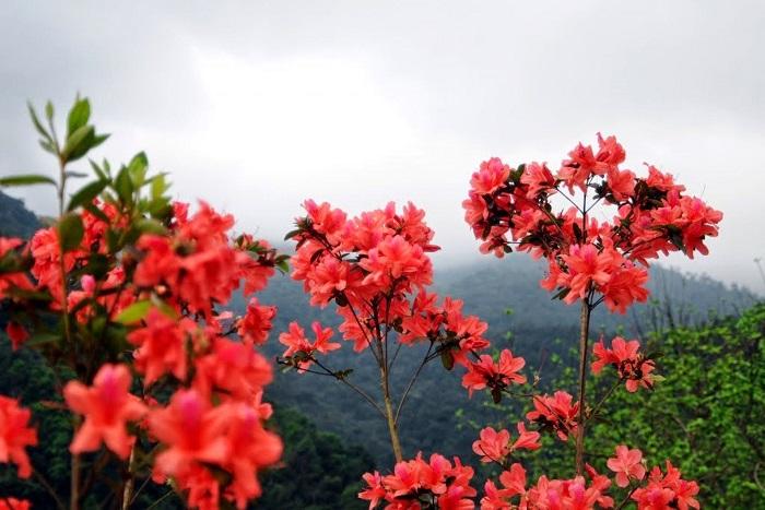 Hoa đỗ quyên trên đỉnh Bạch Mã.