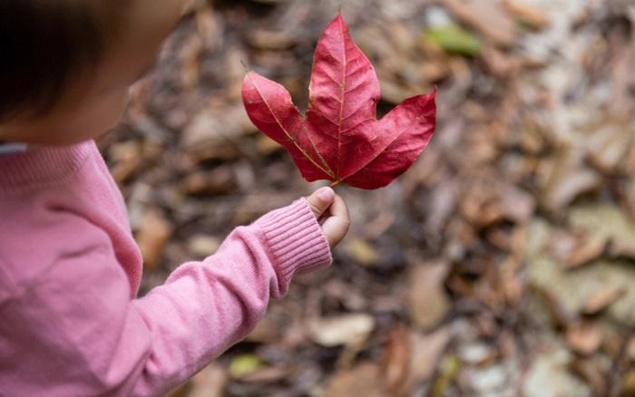 Lá phong Bạch Mã là tên gọi ưu ái cho loài cây sau sau này