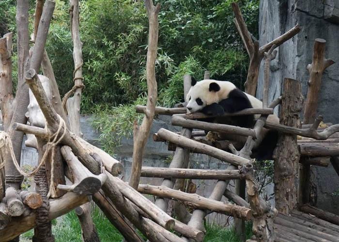 Vườn gấu trúc Thành Đô. Ảnh: VNExpress