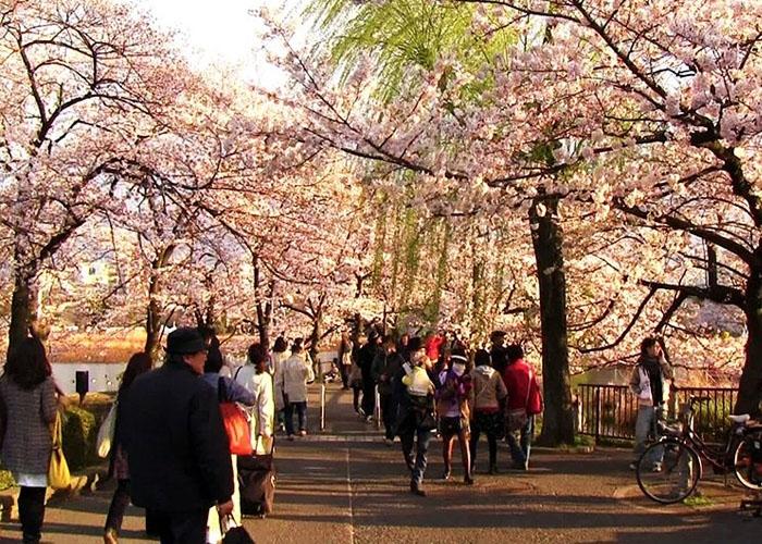 Công viên Ueno tấp nập du khách mùa hoa anh đào. Ảnh: gody.vn