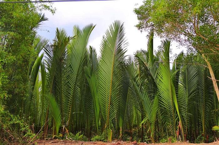 Cây dừa nước