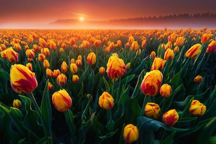 Mơ thấy hoa tulip đánh con số nào may mắn? 1235310962