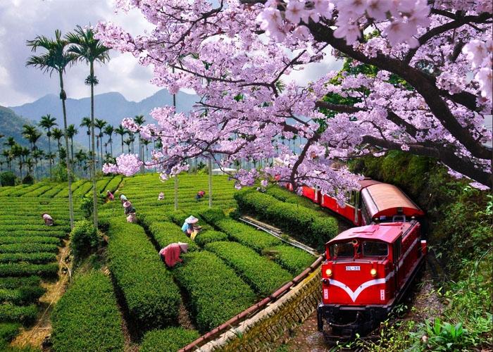 Ngắm hoa anh đào nở trên núi A Lý Sơn. Ảnh: fliggy.com
